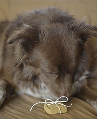 DDC-Tied In A Bow (It Sure Feels Like Fall, Love It!!!) Tags: white cookie bow string tiedup ddc bluebuffalo chocolatebordercolliemix 105692214