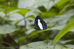 Danis danis (?) (Hiro Takenouchi) Tags: nature butterfly insect wildlife butterflies bacan lycaenid