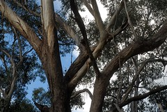 Grey Box (dustaway) Tags: australia bark queensland eucalyptus myrtaceae greybox sequeensland mountlindesay loganvalley australiantrees eucalyptusmoluccana gumtoppedbox
