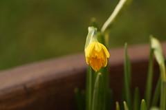 Lonely (AngharadW) Tags: cymru wales angharadw earlysignofspring yellow flower daffodil daffodils daffs macro garden plant stem dof