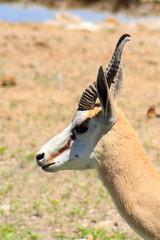 Springbok (RunningRalph) Tags: africa etosha etoshanp namibia okaukuejo okaukuejowaterhole southernafrica springbok namibië oshanaregion