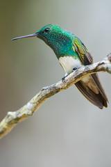 Snowy-bellied Hummingbird (Amazilia edward) (Hamilton Images) Tags: snowybelliedhummingbird amaziliaedward hummingbird bird featherstropicalforest cerroazul canopytower panama centralamerica canon 7dmarkii 500mm 25mmextensiontube february 2017 img9535
