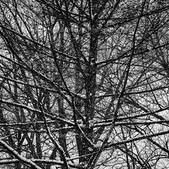 "Winter Branches Layers - Montreal, Quebec, Canada (Photographie Alexi ""Alvin"" Dagher Photography) Tags: 2017 alvin bw montreal nopeople northamerica outdoors photographer photography bandw blackandwhite bnw deep depth foliage horizontal landscape layered layers leafless manybranches march152017 monochrome noone nobody overcast photos pics pictures scene scenery snow snowstorm snowflake snowscape trees winter ©alexidagher quebec canada"
