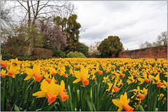 They Stretched In Never Ending Line (Mabacam) Tags: 2017 london hampton hamptoncourt hamptoncourtpalace garden spring season daffodils nature yellow