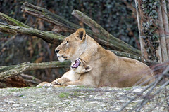 Yawning over mom (Tambako the Jaguar) Tags: mother together cuddling yawning openmouth tired young cub baby cute lion lioness african big wild cat female basel zoo zolli switzerland nikon d5