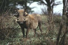 Wrattenzwijn (Rob van t Padje) Tags: flickr zoogdieren hluhluwe zuidafrika zaf