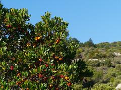 Strawberry tree (Arbutus unedo), near Lagrasse (Niall Corbet) Tags: france occitanie languedoc roussillon aude strawberrytree arbutusunedo lagrasse