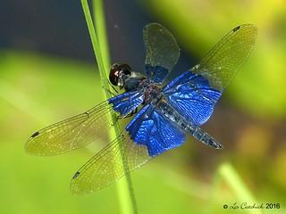 Sapphire flutterer