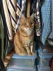 Wardrobe Consultant Elsie (A.Davey) Tags: elsie orangecat rescuecat