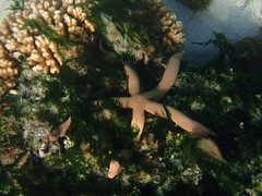 Starfish (jdf_92) Tags: australia lordhoweisland snorkeling seastar starfish island unesco