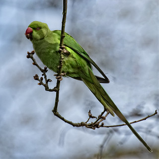 Kingston Parakeet