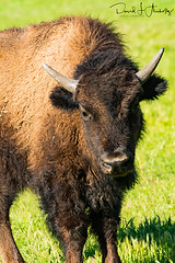 20170315-DSC_2682small (Legal Eagle Photography) Tags: buffalo california sanandreasfaultzone wildlife bison landscape spring sunny