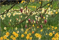 .....Beneath The Trees (Mabacam) Tags: 2017 london hampton hamptoncourt hamptoncourtpalace garden spring season daffodils nature yellow