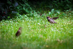 Sparrow (mcveja) Tags: bird nature grass birds sparrow canon200mmf28liiusm