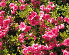 Azalea (Maia C) Tags: pink flower spring azalea 2014 maiac sonydschx1