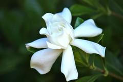 Gardenia (unnygirl_steph) Tags: white lovely gardenia myfrontyard
