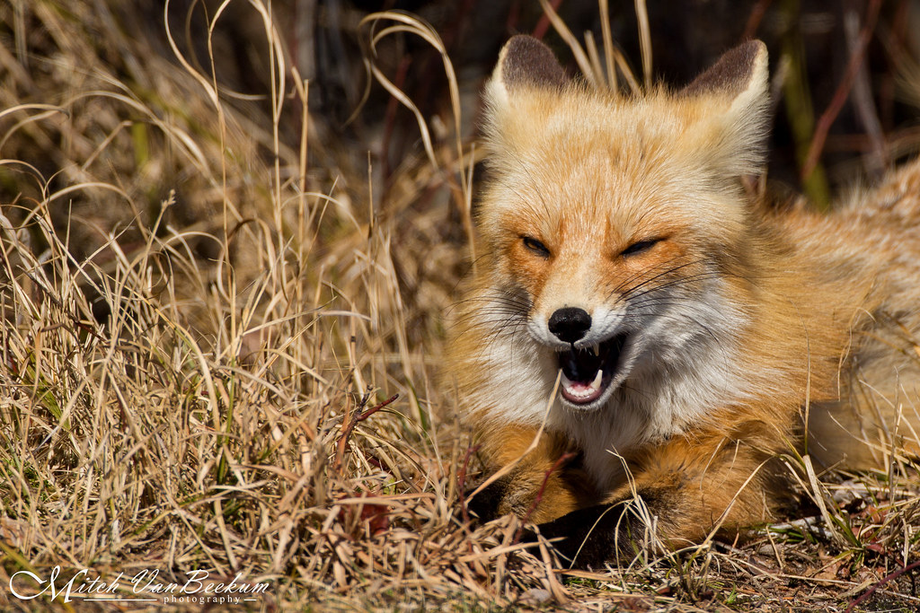 Yarrr Matey! (Red Fox)