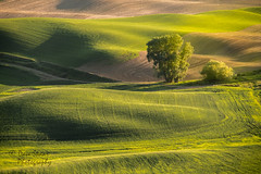 The Palouse (NW Vagabond) Tags: road light tree golden spring wheat hills dirt hour lone rolling palouse 2014 steptoebutte