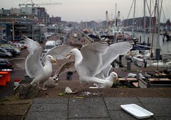 Meeuwen in de haven (Patrick Rasenberg) Tags: haven holland bird netherlands birds harbor fight harbour scheveningen seagull gull den nederland vogels haag meeuw meeuwen vogel vechten zeemeeuw zeemeeuwen