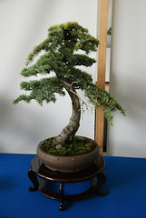DSC09890 (Prox-Photography) Tags: plant tree gardens pine botanical japanese for maple birmingham all chinese pot bonsai elm accent juniper 2014