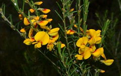 Heath Aotus (dustaway) Tags: flowers heath wildflowers shrub fabaceae yellowflowers australianwildflowers australianflora faboideae aotus aotusericoides australianshrubs aotus|