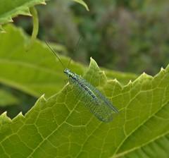 Lacewing (Bricheno) Tags: macro bug insect scotland leaf glasgow escocia szkocja lacewing schottland scozia cosse dalmarnock chrysopidae  esccia   bricheno scoia