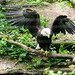 Bald Eagle Wings Extended