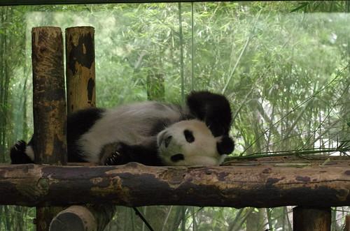 Shanghai Wild Animal Park - Giant panda / 上海野生动物园 - 大熊猫