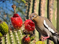 Messy but delicious (phxdailyphotolady) Tags: cactus bird fruit dove eat messy desertbotanicalgarden whitewinged