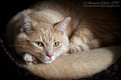 At Rest in his Nest (sminky_pinky100 (In and Out)) Tags: pet beautiful cat bed handsome shakespeare domestic resting bufftabby omot cans2s masterclassexhibition masterclasselite thenewmasterclass