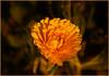 Sunset-4-Edit-Edit copy.jpg (mikewatson8) Tags: sunset sunsetflower