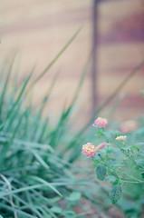 (Terrini) Tags: flowers plants film analog kodak bokeh naturallight 35mmfilm vegetation overexposed analogue overexposure nikonfm3a digitalscan nikkor85mmf2ais walgreensprocessing ultramax400 consumerfilm