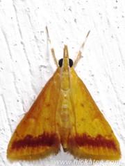 Family Erebidae - NMW 20 July 2014-082 (Dis da fi we) Tags: belize erebidae jungle moth puntagorda toledo wildlife nationalmothweek nationalmoth mothing cottages hickatee