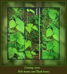 Coming soon (MissyPenny) Tags: green vegetables garden beans greenbeans polebeans bushbeans bristolpennsylvania