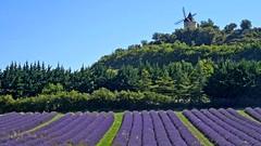 1Provenza - Lavande e vecchio mulino presso Forcalquier (antoniobusso) Tags: france nature landscape miel provence lavande francia paesaggi provenza lavanda lavandin