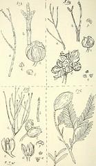 Anglų lietuvių žodynas. Žodis callitris cupressiformis reiškia <li>callitris cupressiformis</li> lietuviškai.