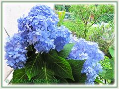 Blue Hydrangea macrophylla 'Endless Summer' blooming remarkably! (jayjayc) Tags: flowers blue plants malaysia kualalumpur shrubs hortensia tropicalgarden bigleafhydrangea mopheadhydrangea frenchhydrangea jjsgarden jayjayc hydrangeamacrophylla'endlesssummer'