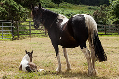 Molly & Gracie Belle (EmilyCoco) Tags: ireland summer horses horse dublin gracie mare july molly belle foal 2014