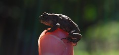 Erdkrte - Juvenile Common Toad - Bufo bufo (simon.stoelben) Tags: summer nature closeup pond jung finger sommer natur young july sunny toads juli amphibians sonnig juvenile schlosspark nahaufnahme brhl bufo weiher krten amphibia amphibien commontoad jungtier erdkrte jungtiere