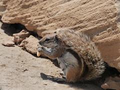 Fuerteventura (ralf_warnecke) Tags: strand fuerteventura spanien kanarischeinseln costacalma erdhrnchen