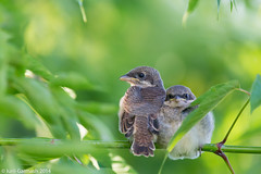 Shrike chicks waiting for parrents (garmoncheg) Tags: portrait bird nature leaves animal children bill leaf branch looking head wildlife feather chick twig elegant common songbird shrike plumage canon6d canonef100400lf4556isusm sunrays5
