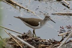 Common Sandpiper. (stonefaction) Tags: nature birds scotland fife wildlife estuary eden sandpiper common faved guardbridge explored