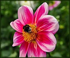 Dahlie (Krnchen59) Tags: pink flower garden bumblebee blume garten elke hummel dahlie krner pentaxk7 krnchen59