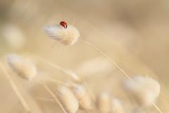Dans le vent (Philippe POUVREAU) Tags: dune sable ladybug ladybeetle coccinelle coccinellidae borddemer saintbrévin paysderetz saintbrevinlespins lagureovale