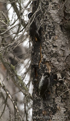 "Three-toed Woodpecker • <a style=""font-size:0.8em;"" href=""http://www.flickr.com/photos/63501323@N07/14777926391/"" target=""_blank"">View on Flickr</a>"