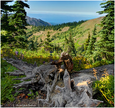 Hurricane Ridge North (ScottElliottSmithson) Tags: wood trees panorama mountain mountains color nature forest canon landscape eos woods scenery view scenic olympicpeninsula 7d pacificnorthwest wildflowers fusion washingtonstate nationalparks olympicnationalpark wildflower juandefuca hurricaneridge olympicmountains straitsofjuandefuca usnationalparks eos7d dtwpuck scottsmithson scottelliottsmithson