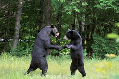 The Dance (Megan Lorenz) Tags: bear wild ontario canada male nature action wildlife sj fighting nsb boar blackbear wildanimals slimjim naturephotocontest mlorenz meganlorenz