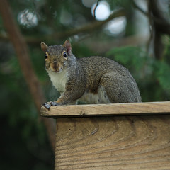 squirrel (waxing crescent) Tags: summer squirrel graysquirrel barnboard croppedonly squirrelphotography