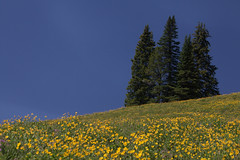 yellowstone wildflowers (davidadoan) Tags: david bluesky yellowstone wildflowers doan mountainmeadows a yellowstonewildflowers davidadoan