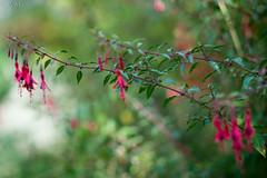 DSCF4936 (Patrick Mouret) Tags: flowers fujixpro1 fujinonxf56mmf12r